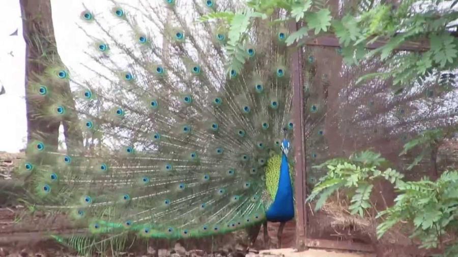 peacock_rainy_season
